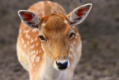 trample deer