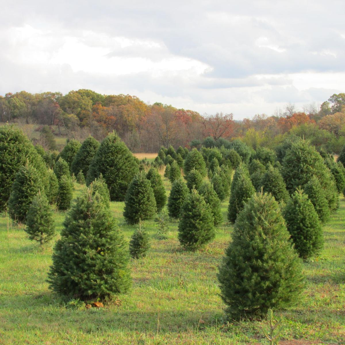 Long Family Branches Out To Take Over Tree Farm Free Announcements Shipnc Com
