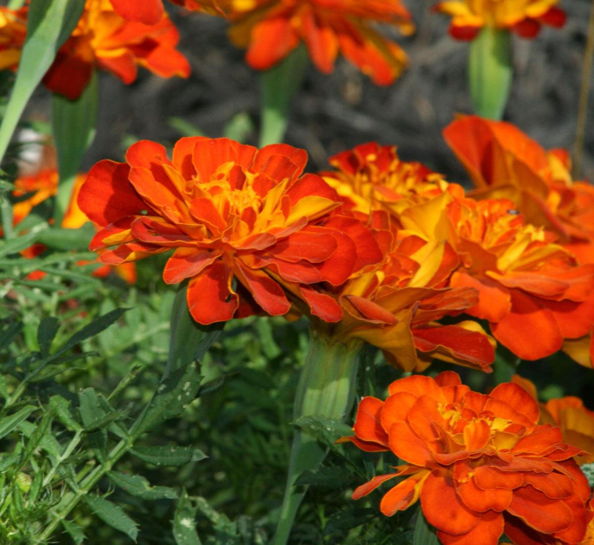 Annual Flowers Add Season Long Color Benefits To Home Gardens