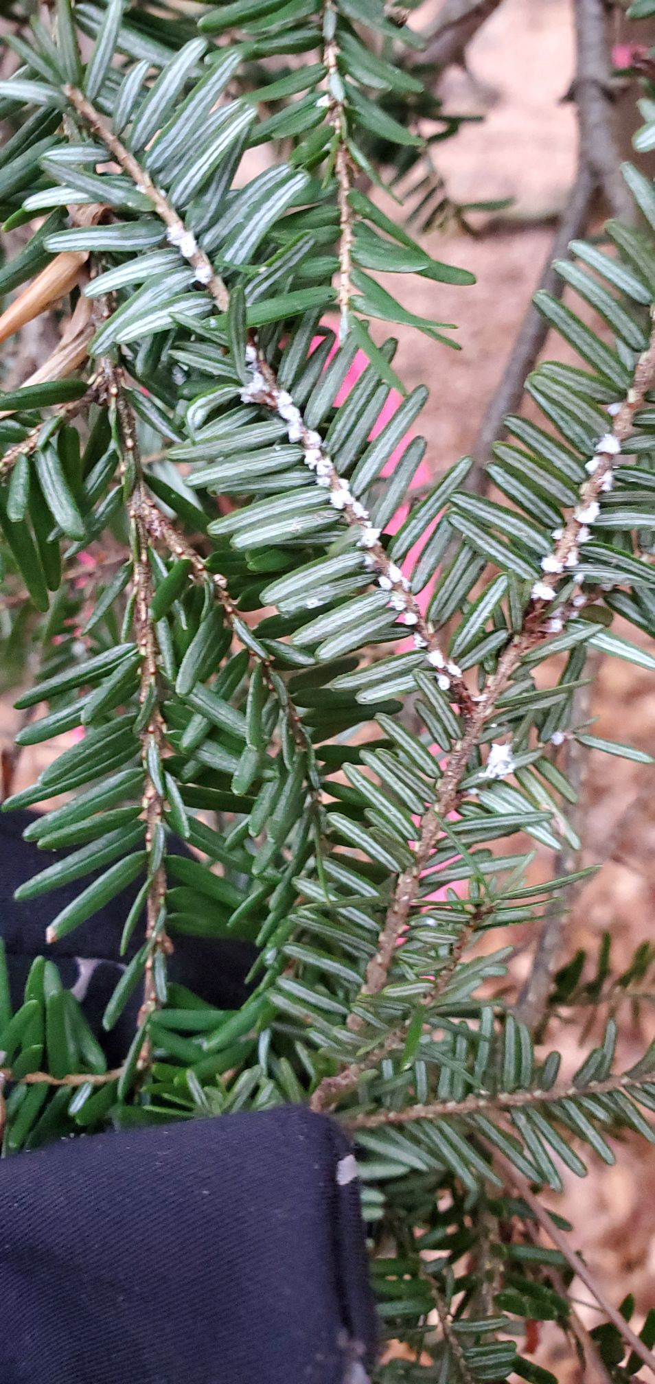 Hemlock woolly adelgid infected tree