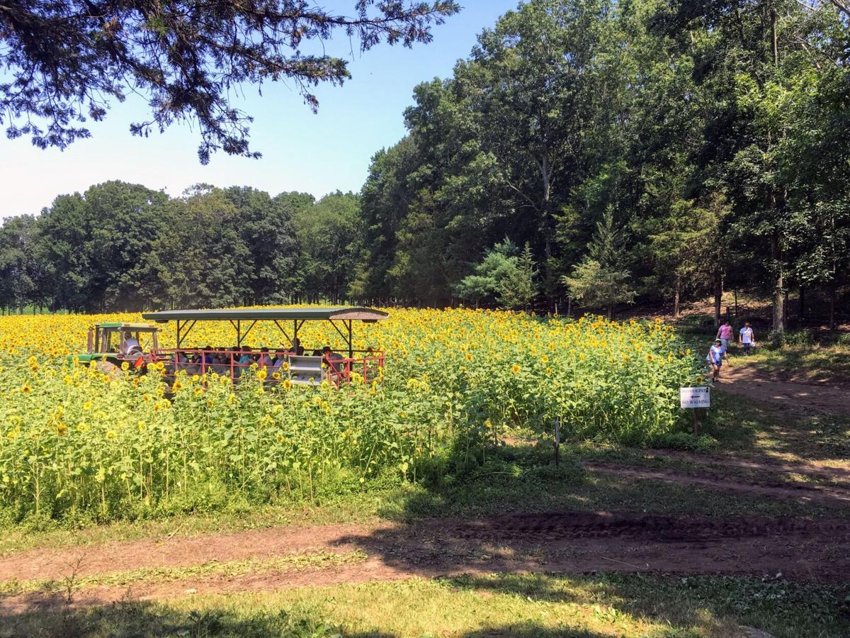Sunflowers: CT farms spreading a little floral sunshine