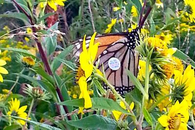 Where Have All Monarchs Gone >> Where Have All The Monarchs Gone Numbers Down This Year Experts
