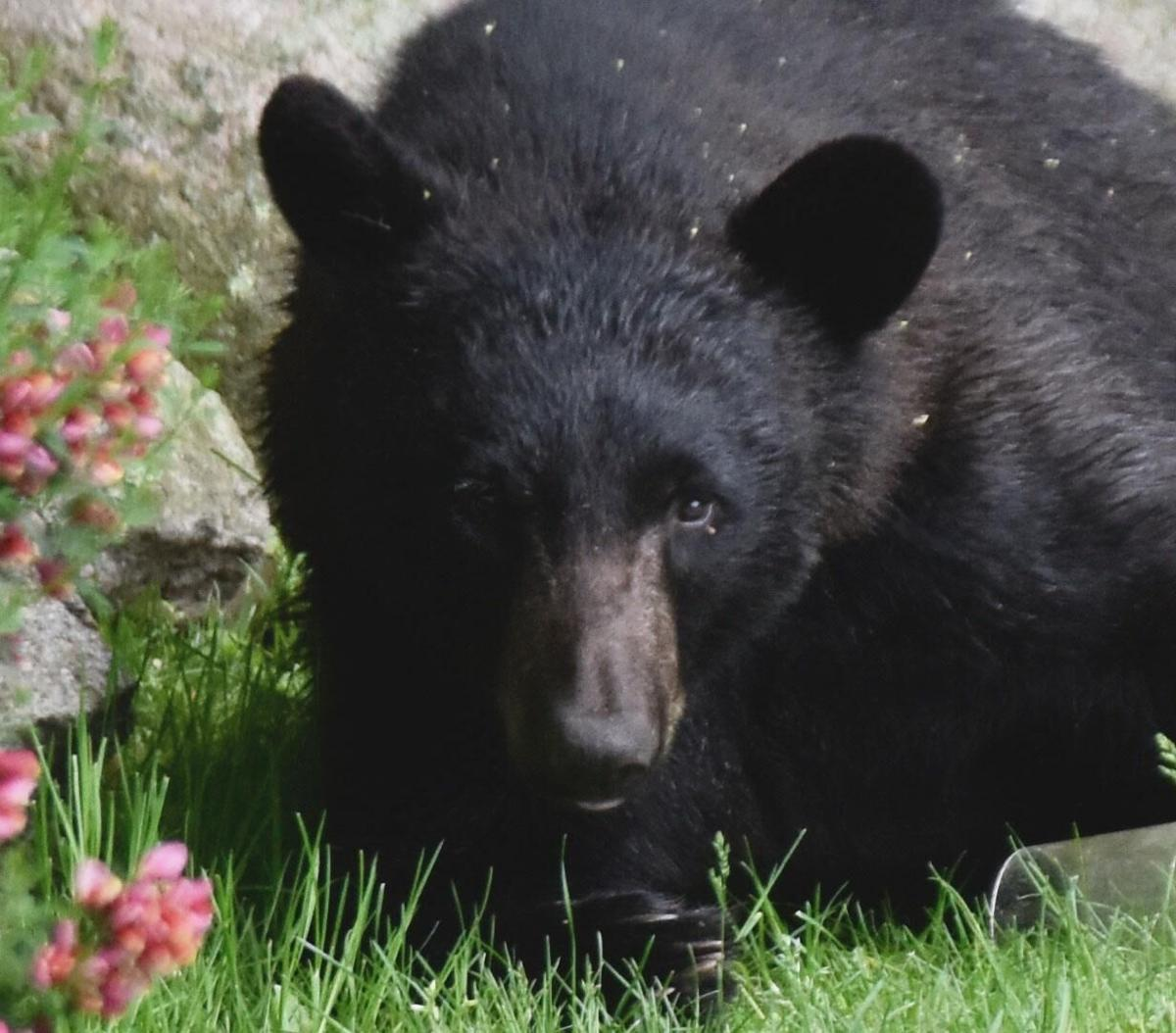 DEEP: Bears have entered 42 CT homes this year. Here's how to keep them away.