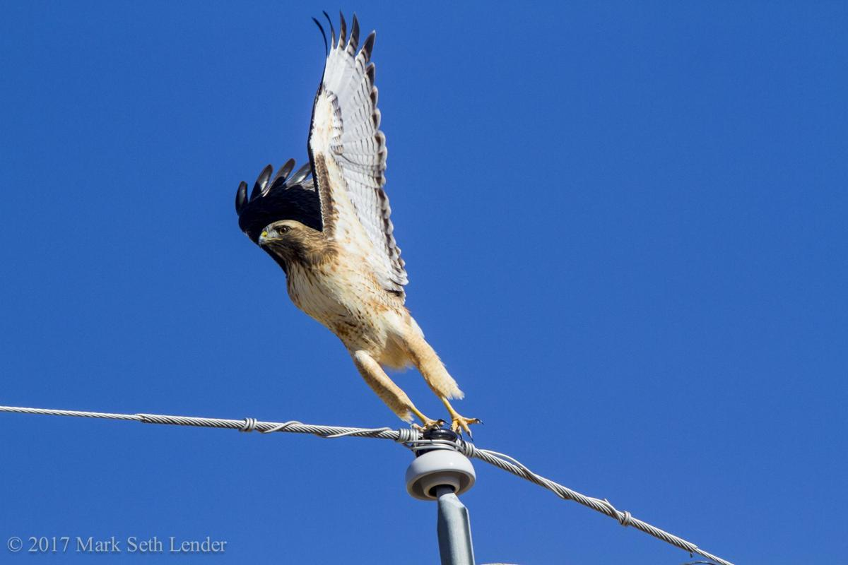 Destination Wildlife: Red-tailed Hawk at Union Square, NYC