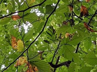 Opinion: New threat to beech trees that feed animals of the wild