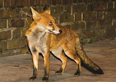 Fox attack prompts warning along CT shoreline