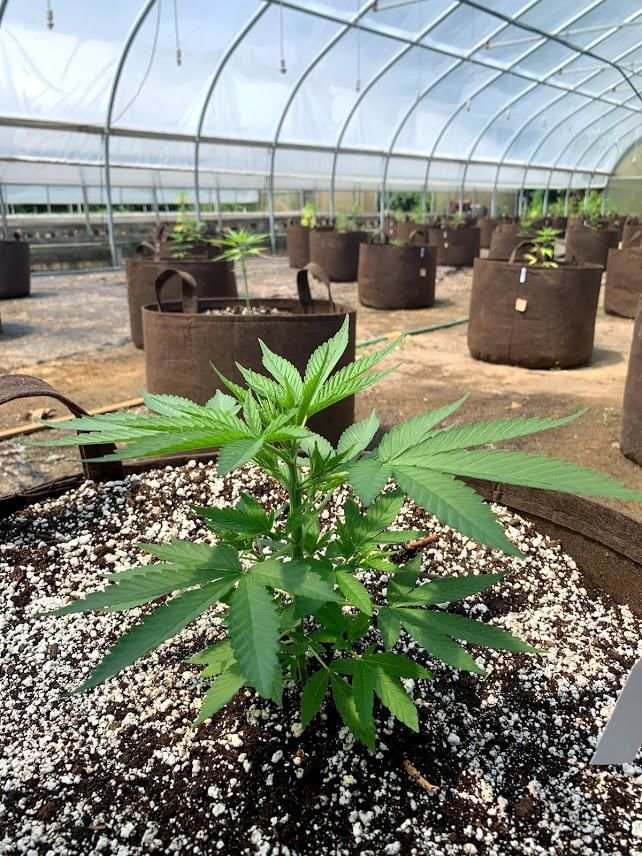 Killingworth hemp farm growing a new business