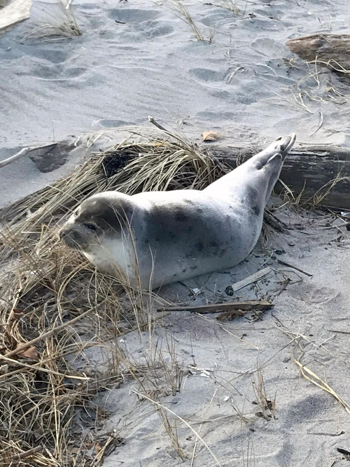 Seal spotted at Hammo not unusual occurence; 'pupping season' now