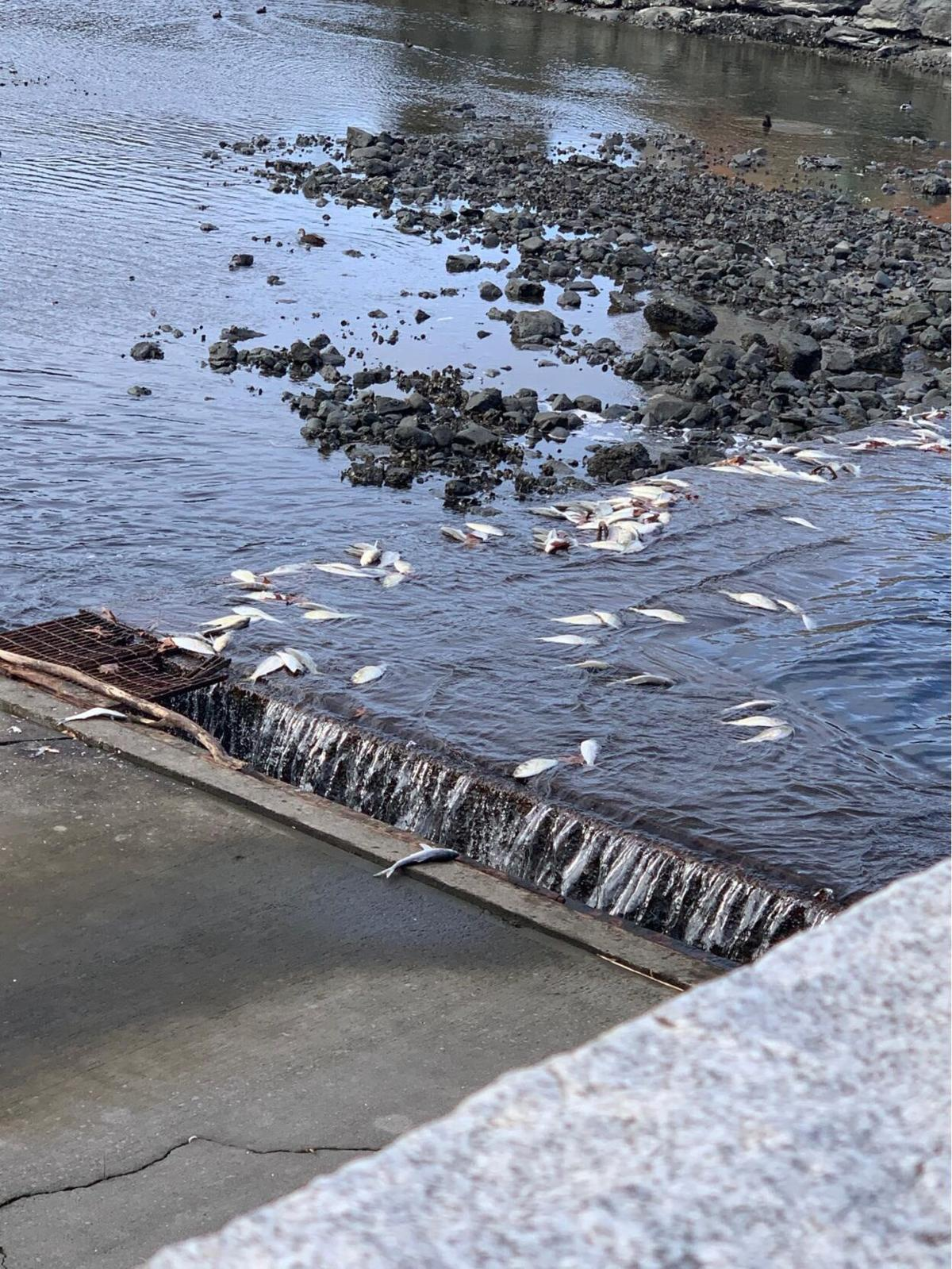 Dead fish wash ashore in Darien, surrounding area