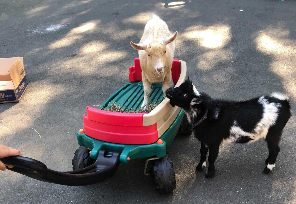 'They cried all the way home': Guilford police reunite woman with wandering baby goats