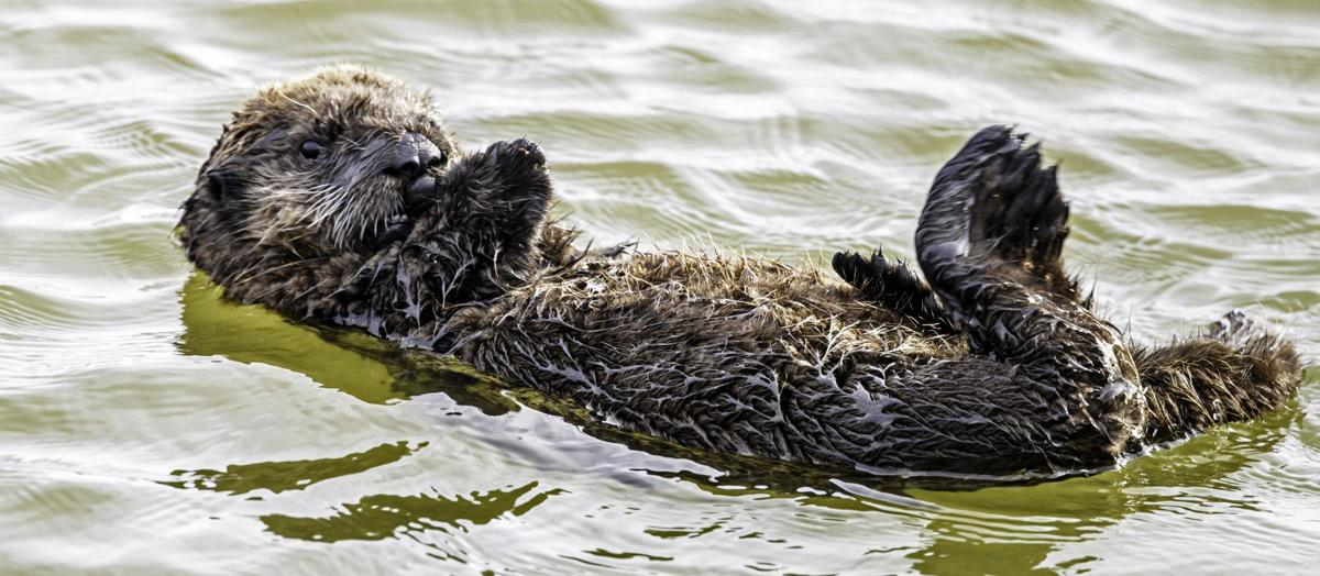 MARK LENDER: Southern Sea Otter, Elkhorn Slough, Monterey Bay
