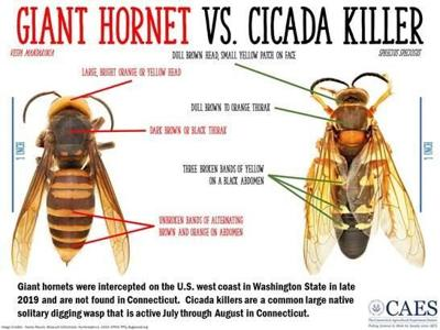 New Haven scientists: Large 'Cicada Killer' wasp is not a 'murder hornet'