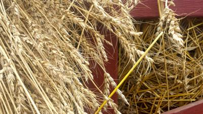 wheat file photo
