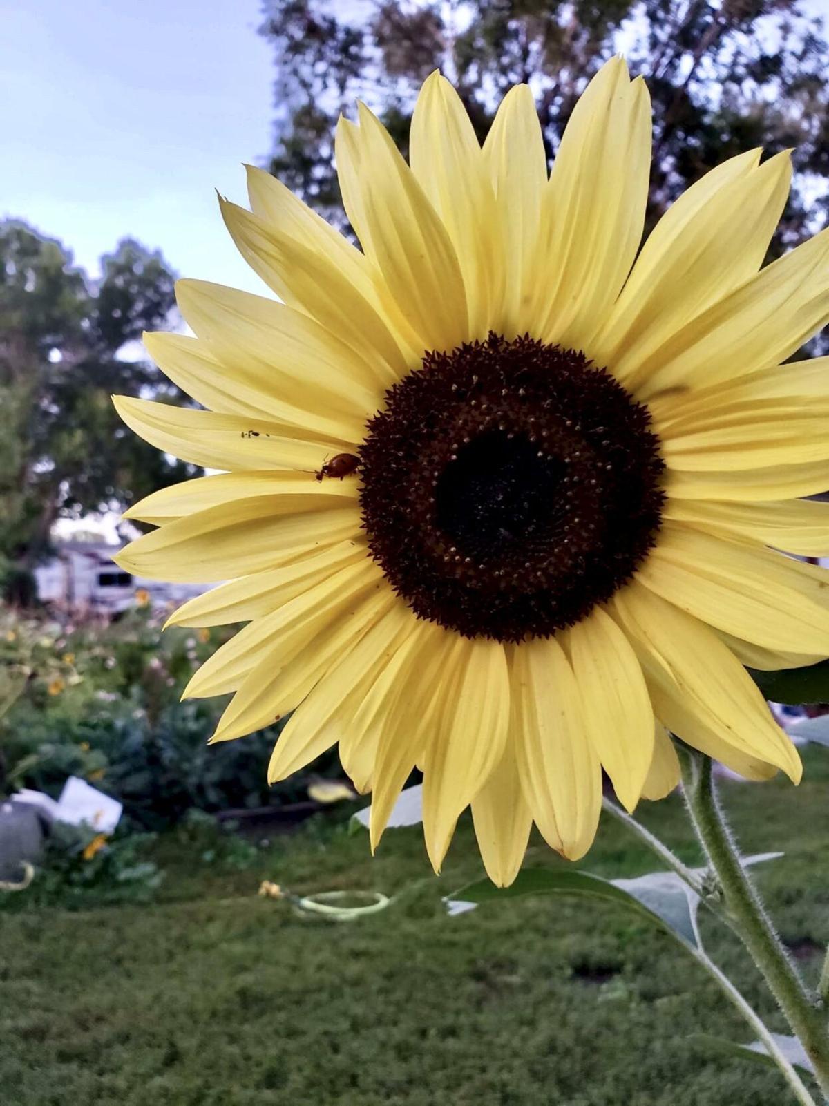 sunflower file photo