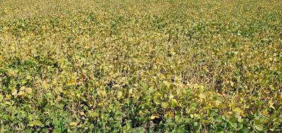 DROUGHT STRESSED SOYBEAN