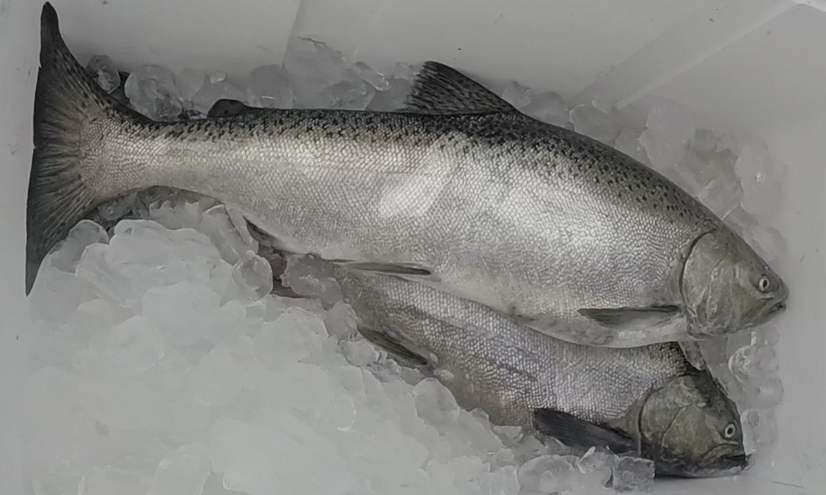 SalmonHarvest