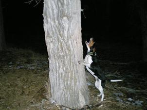 Coon hunting