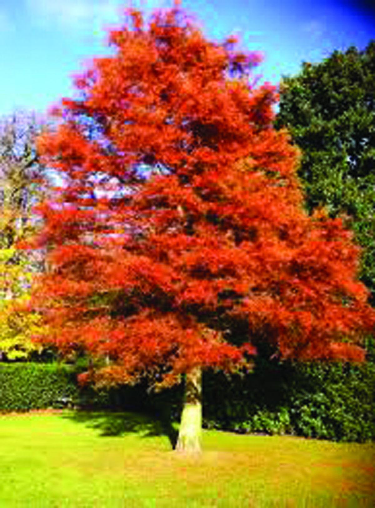 Tree Distribution Program Set For Oct 1 Advertorial