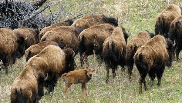 Broken Kettle Grasslands bison calf