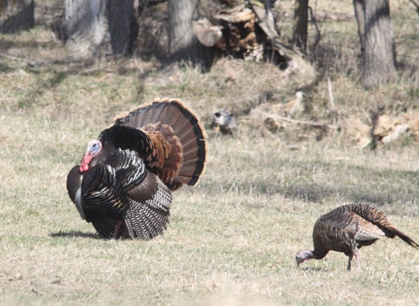 myhre calling is an important skill in turkey hunting outdoors