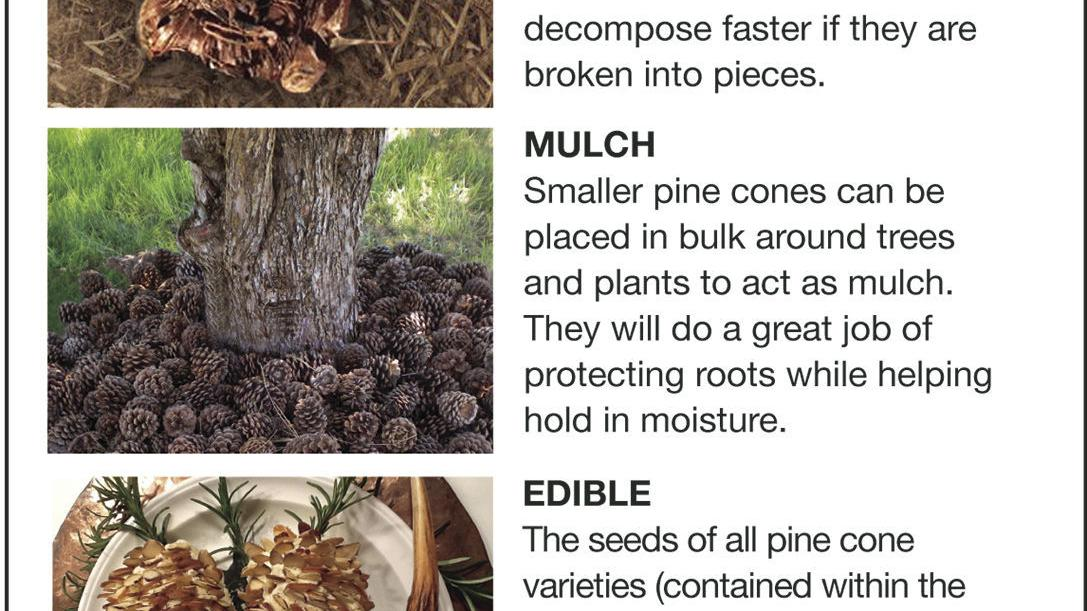 There S Not Much Use For Pine Cones Siouxland Homes
