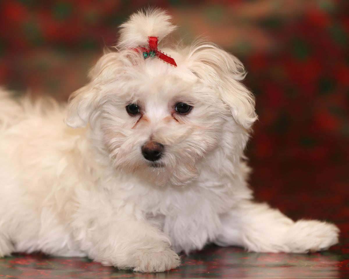 Aspen, the 2016 Little Yellow Dog