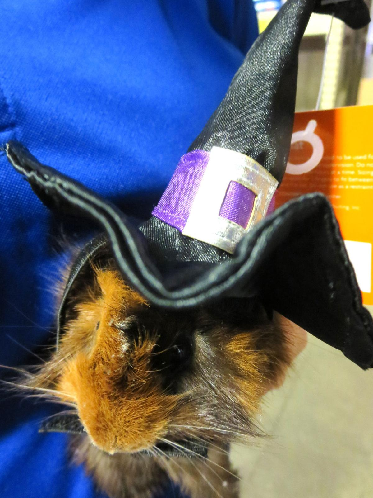 Witch guinea