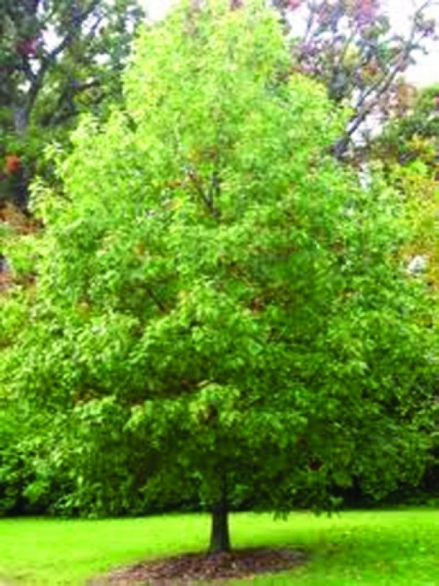 Plant Some Shade Tree Distribution Planned For Sept 27