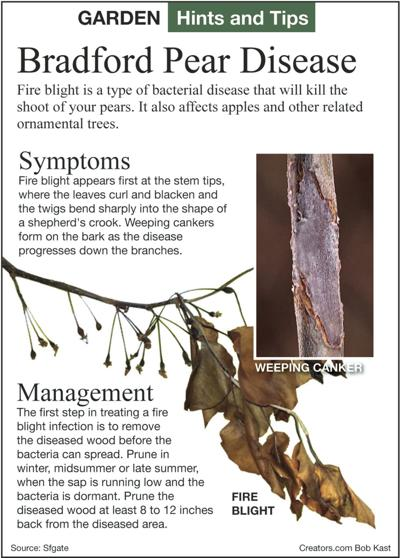 Managing Pine Needles Crabapple Fruits And Fire Blight