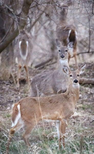 Deer in Sioux City