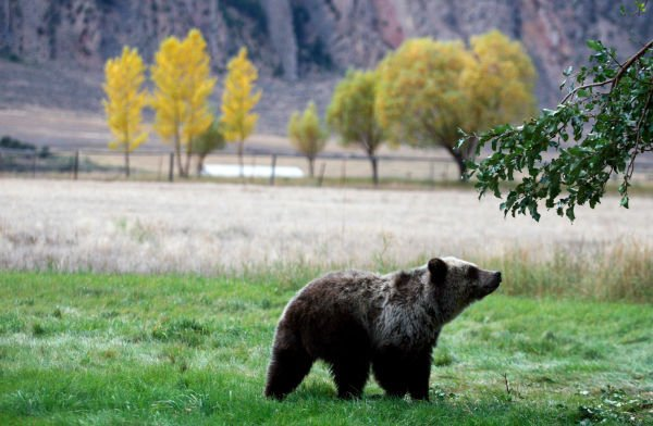 Yellowstone Grizzlies