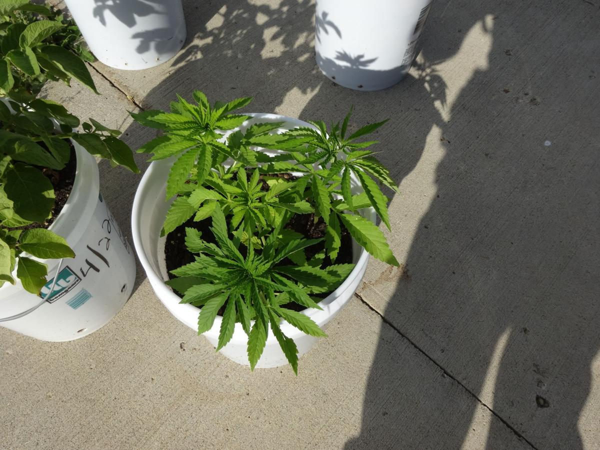 2 Face Charges After Marijuana Found Growing On Patio