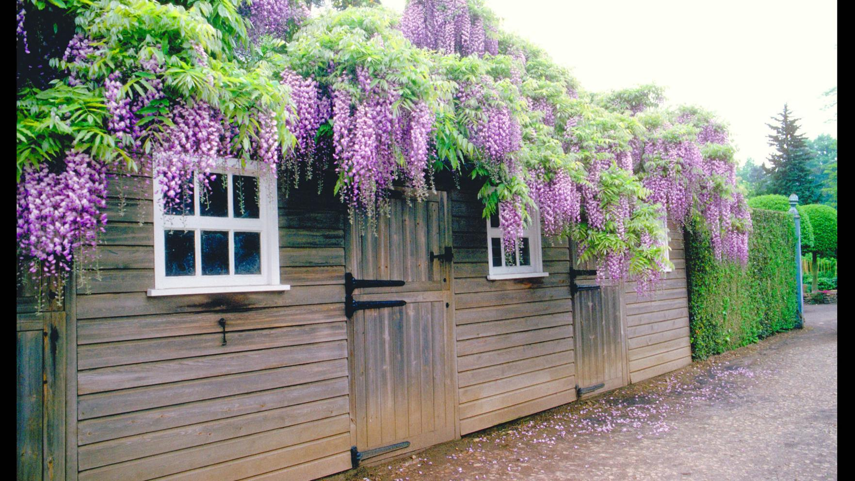 How to choose the right wisteria for your garden