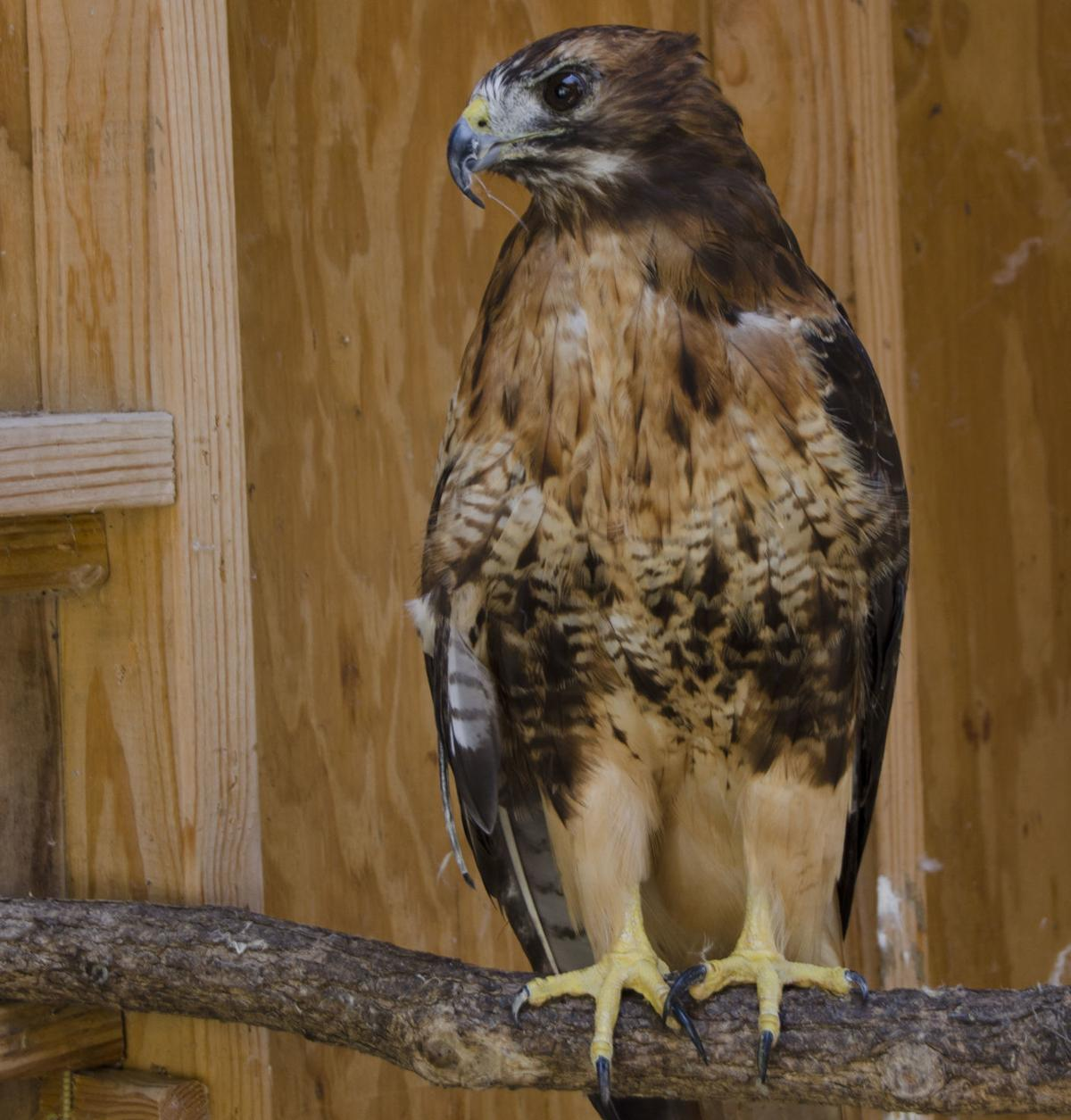 Scarlet the Red Tailed Hawk