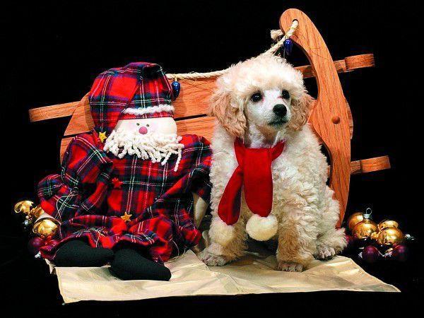 2005: Little Nicholas, the miniature poodle