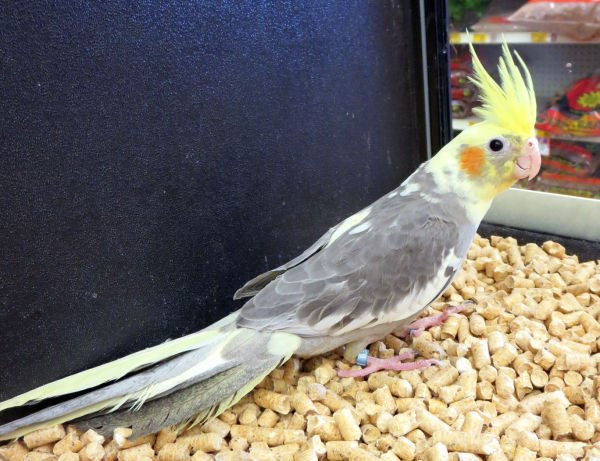 Look For Personality When Deciding On A Pet Bird Kuester