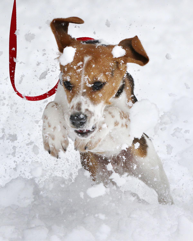 Dasher 2015 Little Yellow Dog