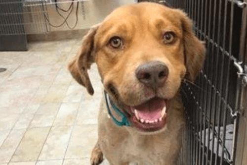 Meet The Bullied Golden Retriever Who Found A New Forever Home