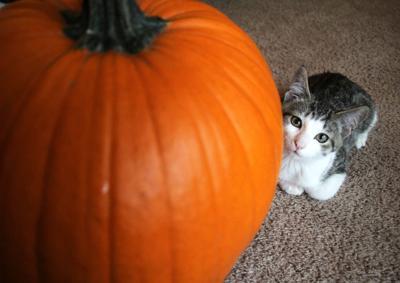 Pumpkin pets