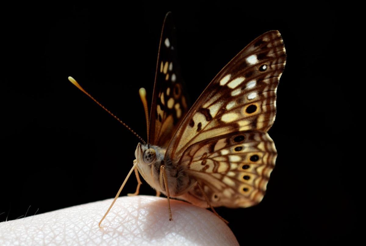 Butterflies -- Dorothy Pecaut Nature Center