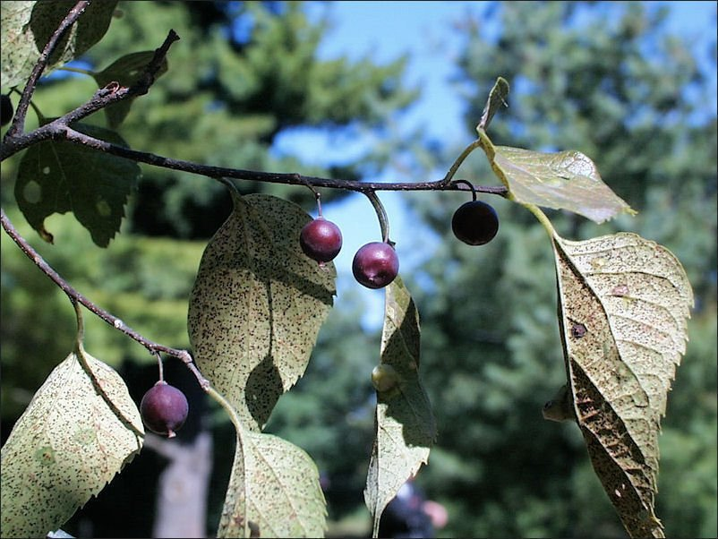 A Northwest Iowa Guide To Shade Trees For The Lawn