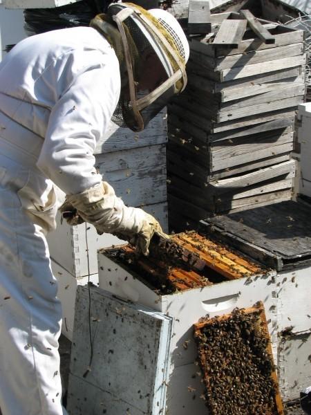 Kurtz bees