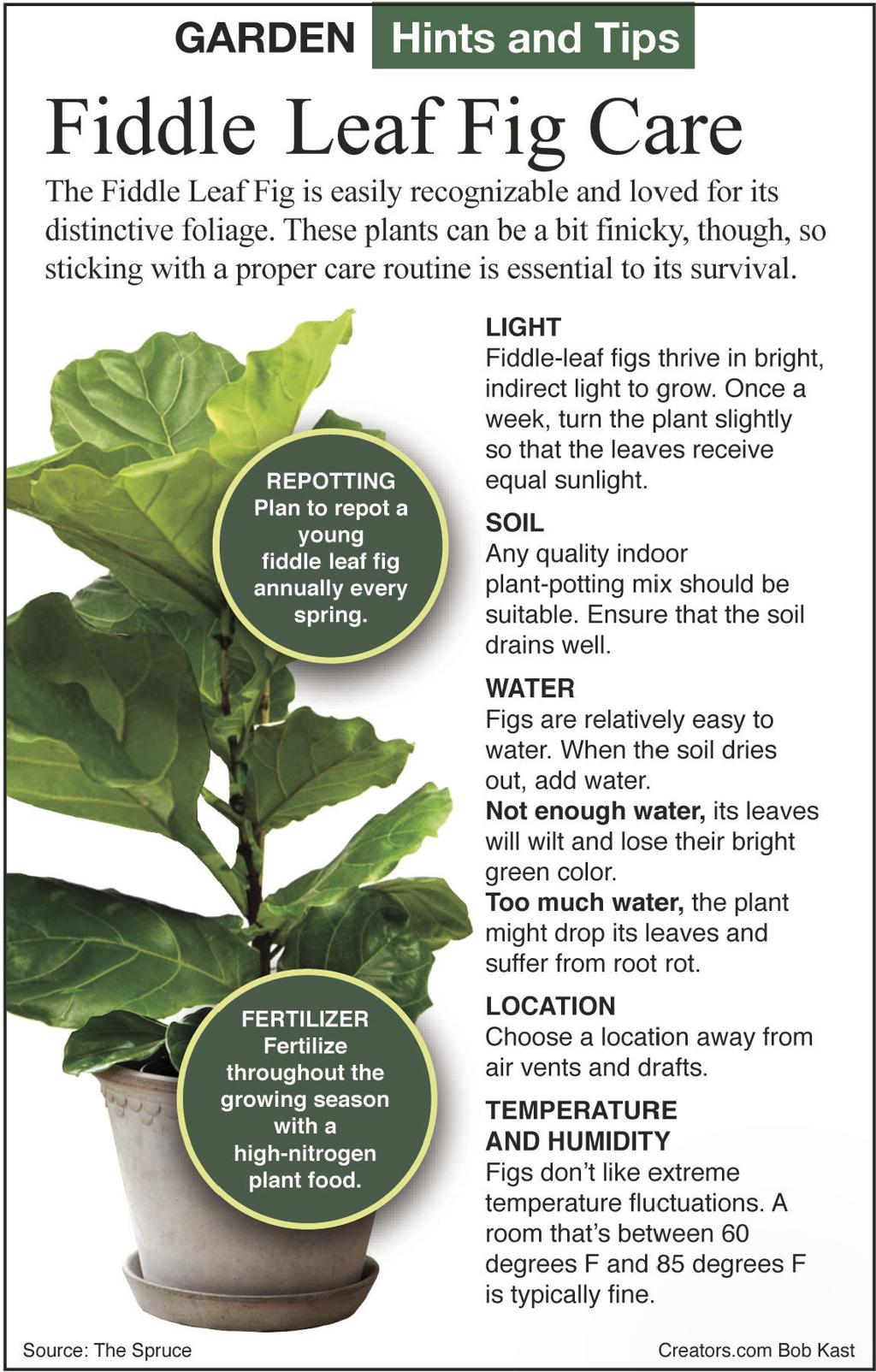 What to know about the fiddle leaf fig   Siouxland Homes ...