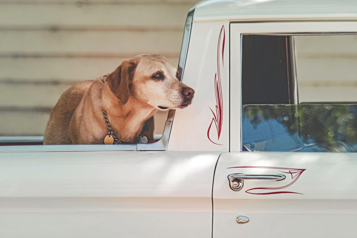 _adult-yellow-labrador-retriever-at-the-back-of-pickup-truck-917106_CMYK.jpg