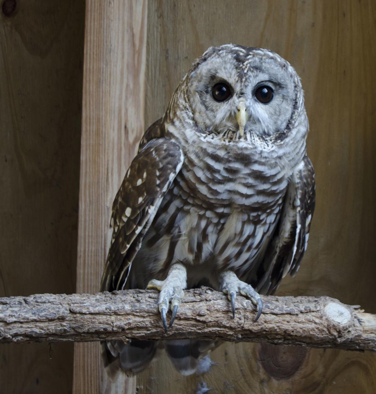 Harlan the Barred Owl