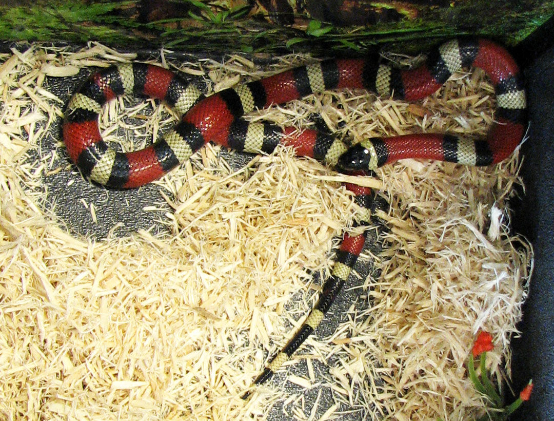 In addition to simplicity, snakes offer several benefits as pets