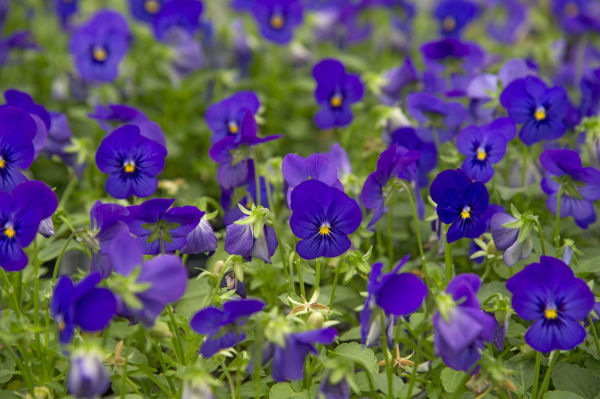 Fall planting? Pick pansies | Home and Garden | siouxcityjournal.com