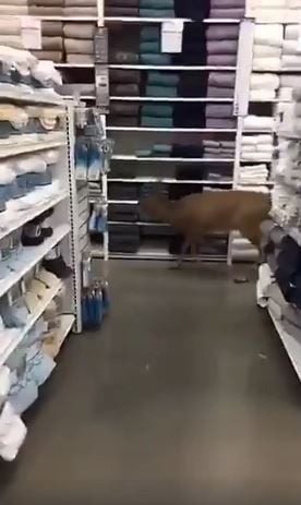 Oh Deer Doe Spotted Inside Bed Bath Beyond Store Local News