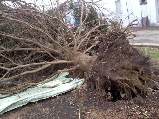 Mapleton uprooted tree
