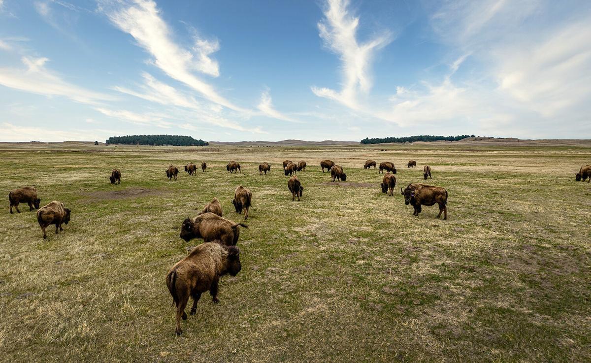 Bison on range